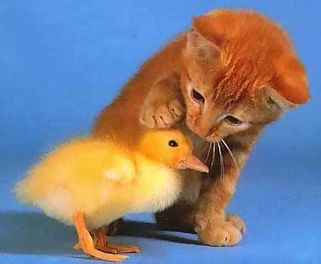 Cute Orange Cat with a Baby Chick <3