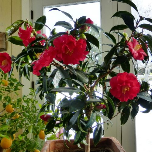 Growing Camellias In Zone 4 Finegardening Camellia Plant Plants Plant Zones