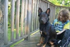 Ruby: German Shepherd Dog, Dog; Bedford Hills, NY