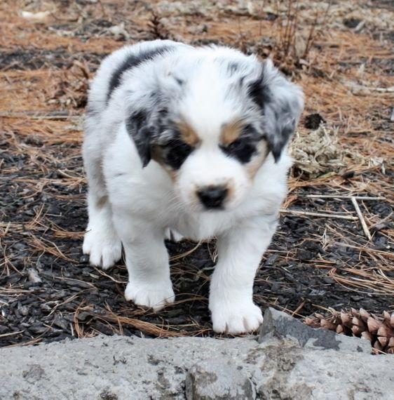 Beau Bear Australian Shepherd Puppy 634859 Puppyspot In 2020 Shepherd Puppies Australian Shepherd Puppy Australian Shepherd