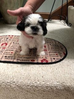 Litter Of 6 Shih Tzu Puppies For Sale In Myrtle Beach Sc Adn 65274 On Puppyfinder Com Gender Female Age 7 Weeks O Shih Tzu Shih Tzu Puppy Puppies For Sale