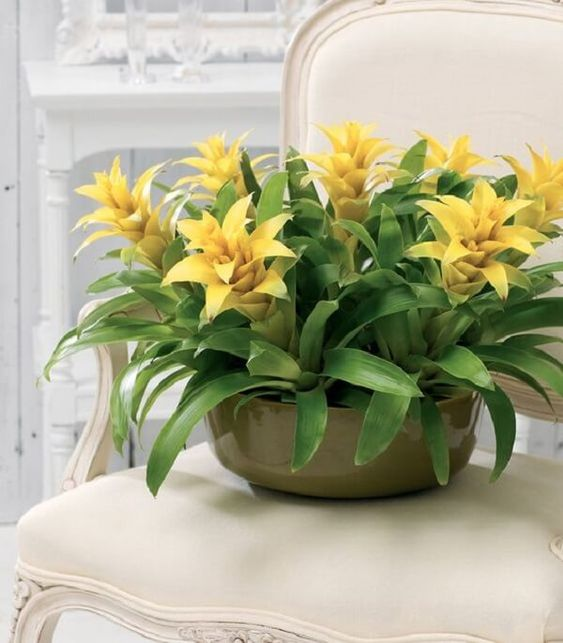 O cachepot com Bromélia amarela decora a sala de jantar #bromelia #bromeliads #flowers