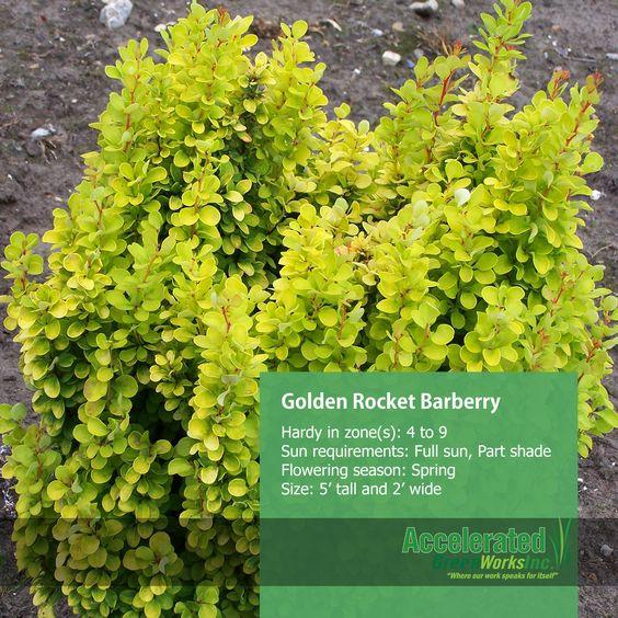 Golden Rocket Barberry Shrubs Pinterest Rockets
