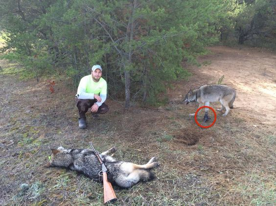 killing wild animals Concerns over the treatment of both wild and domestic animals and their  this  is not a claim that killing wildlife is morally defensible because.