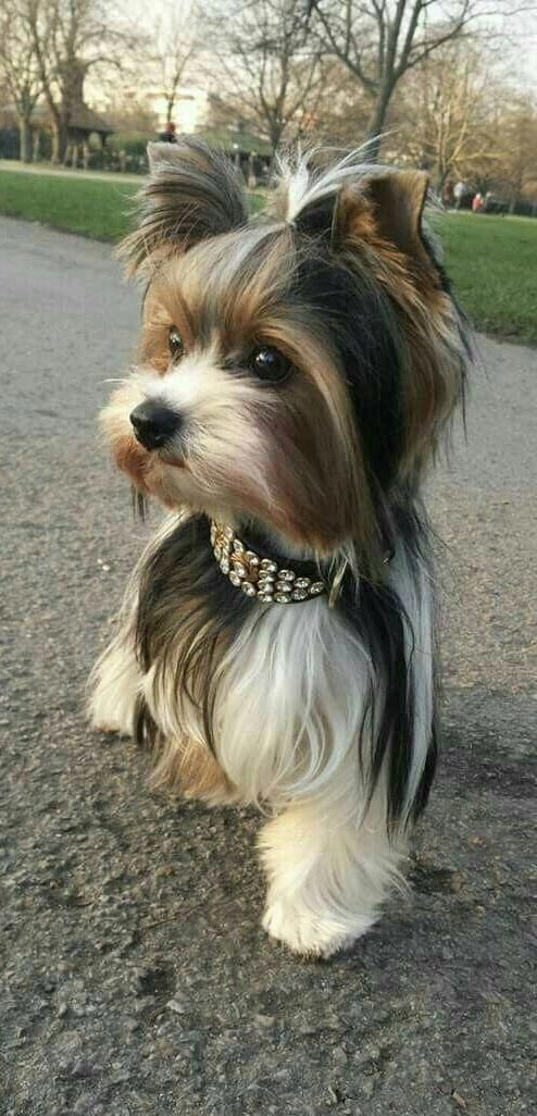 Pin By Shelby Kent On Doggies So Cute Yorkshire Terrier