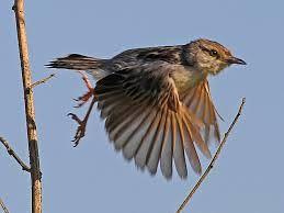 lake chilwa - Google Search - Rufous-winged Cisticola