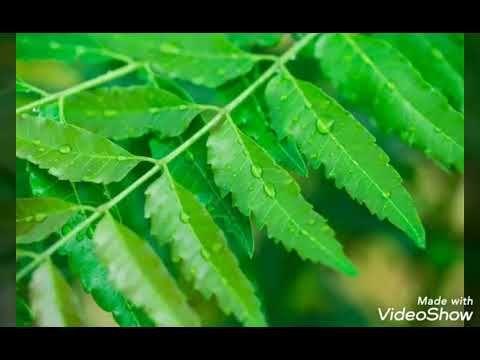 ماهي شجرة النيم وماهي فوائدها Youtube Plant Leaves Plants Leaves