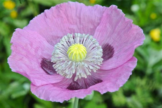 breadseed poppy sewing instructions