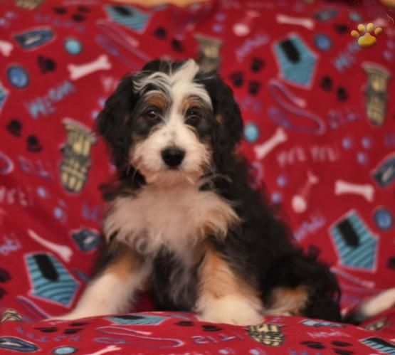 Max Mini Bernedoodle Puppy For Sale In Dundee Oh Lancaster