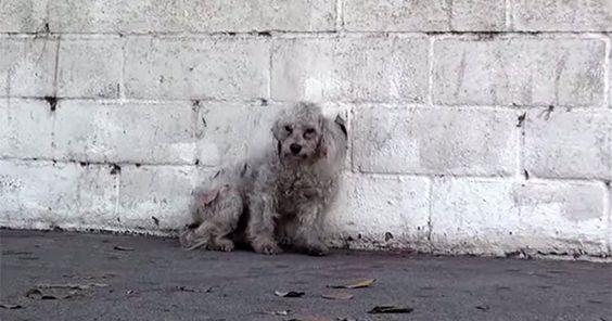 Kurtarıldığını Anlayan Evsiz Köpeğin Yürek Sızlatan Tepkisi #köpek #evcilhayvan #hayvan #hayvanlar #poodle