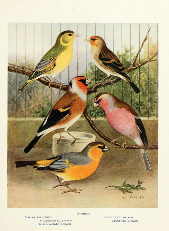 → Canaries, hybrids, and British birds in cage and aviary