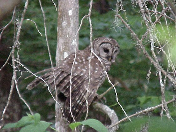 Bard Owl, St Johns River, Florida