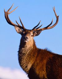 Red Deer Stag on the Isle of Skye in Scotland.: