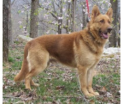 Liver colored German Shepherd | Dogs | Pinterest | Dutch ...