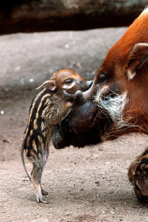 Gözünde anne bakmak için arka ayakları üzerinde duran vahşi domuz yavrusu.  Sevimli.