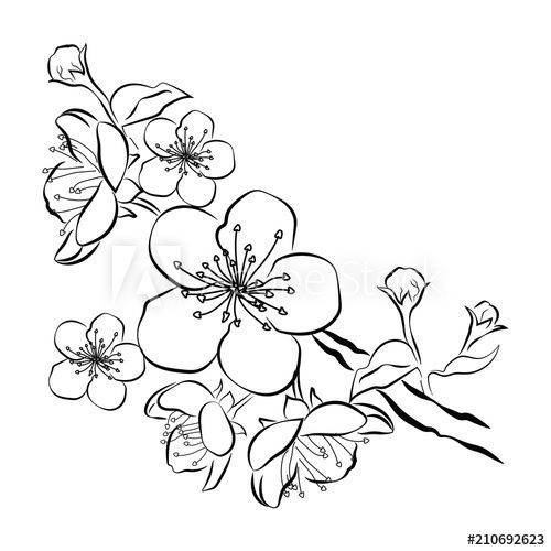Blooming Cherry Sakura Branch With Flower Buds Black And White Drawing Of A Blossom Cherry Blossom Drawing Japanese Tattoo Cherry Blossom Blossom Tree Tattoo