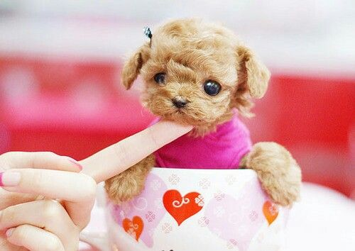 Red teacup poodle