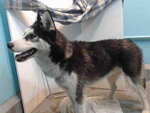 Baldwin Park Ca Siberian Husky Meet Lobo A Dog For Adoption
