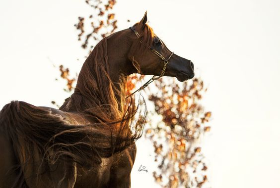 Arabian talking to the wind.... #ArabianHorses
