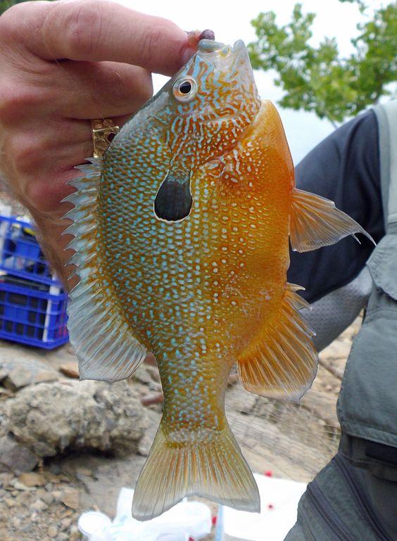 Broken bow lake beautiful longear sunfish fishing for Broken bow lake fishing