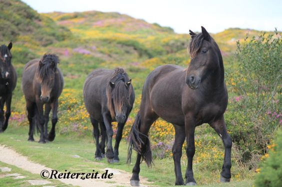 Wir haben ein Paar Infos über die Dartmoor Ponys zusammengefasst:  http://reiterzeit.de/das-dartmoor-pony/