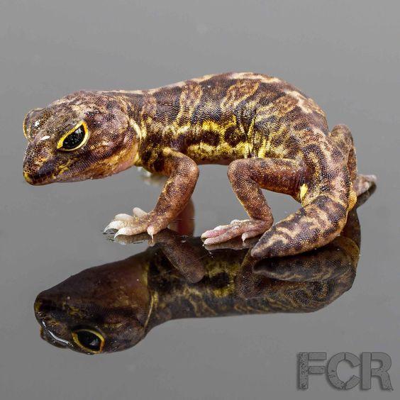 African_Clawed_Geckos_For_Sale_Main__45409.1391709932.1280.1280.jpg (1280×1280)