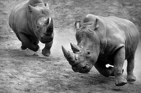 Rhino Air Time Photo by Wayne Panepinto -- National Geographic Your Shot