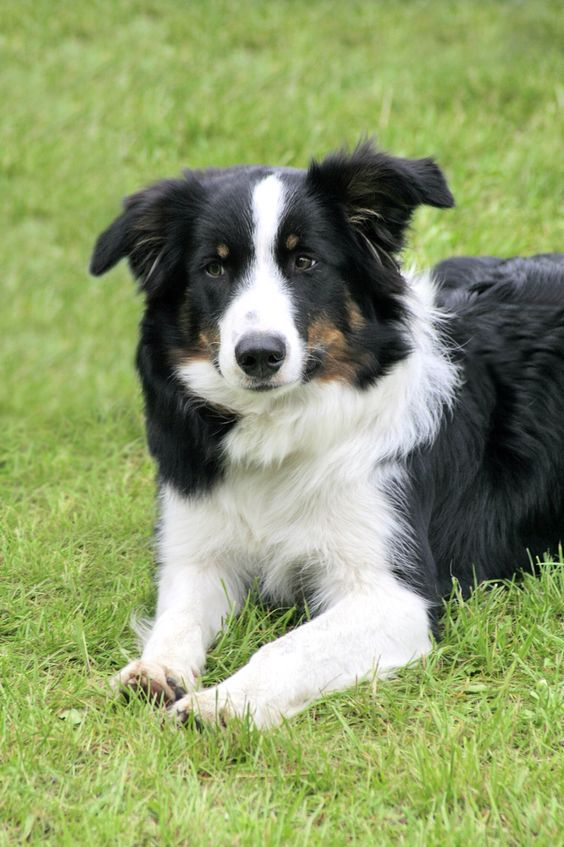 Isn't this the cutest border collie?