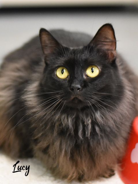Adopt This Cat Tabby Domestic Medium Hair Mixed Long Coat In Spring Tx Pets Pet Adoption Dog Adoption