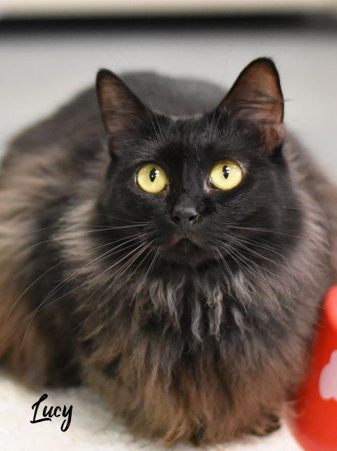Adopt This Cat Tabby Domestic Medium Hair Mixed Long Coat In Spring Tx Pet Adoption Pets Dog Adoption