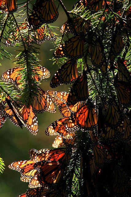 Viaja tres mil kilometros en dirección a México donde encuentra un árbol específico para hibernar junto con cien mil mariposas mas. El invierno aquí tiene temperaturas moderadas las cuales no matan a las mariposas, el sol de primavera las despierta y asi vuelan de regreso dejando que sean sus bisnietos quienes vuelvan a hibernar en el mismo árbol.
