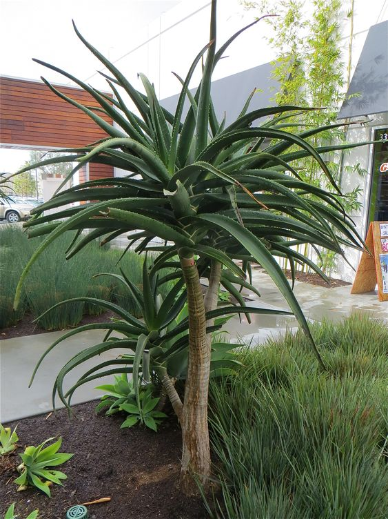 Aloe Bainesii Tree Is A Perfect Vertical Element In Your