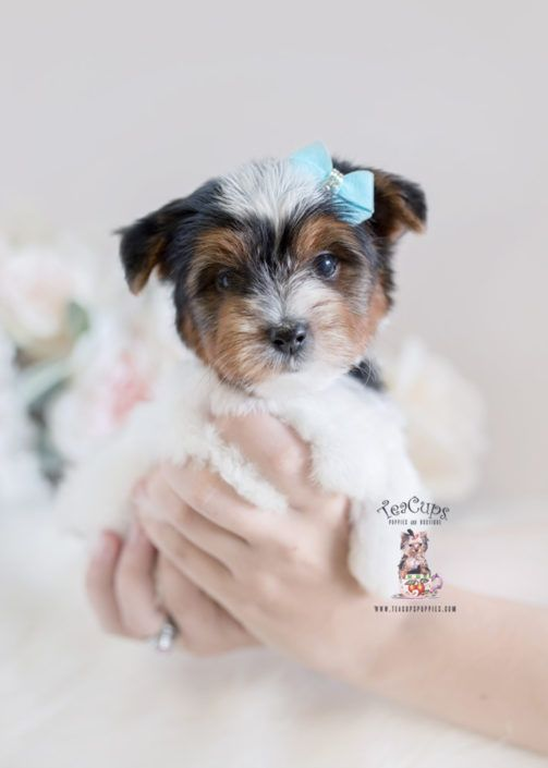 Biewer Terrier Puppy For Sale Teacup Puppies South Florida 328