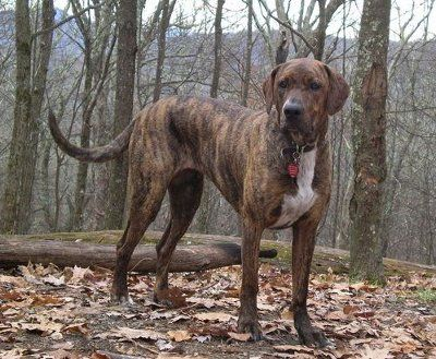 """Plott Hound Dog - Facts about Plott Hound Dogs, """"Scientific name for Plott Hound Dog, or domestic canine, is Canis lupus familiaris"""". The Plott Hound Dog is a pack hunting dog, which was bred in North Carolina to hunt and kill the bear and wild boar"""