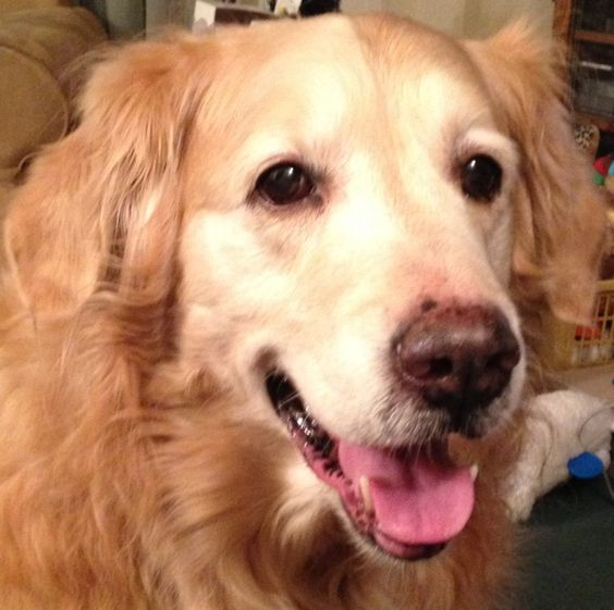 Mauser is happy.  Golden Retriever