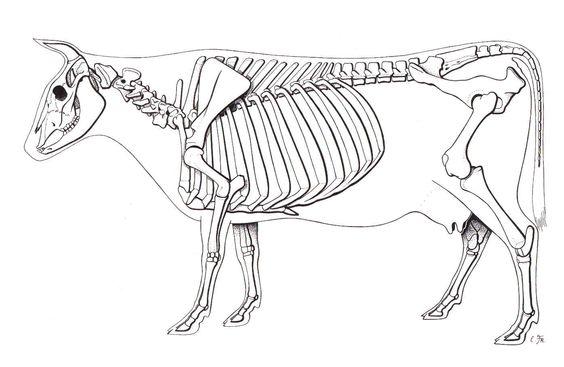 Cow    Skeleton   animal skeletons   Pinterest      Cow     Animals