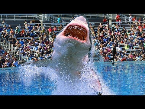 This Is Why No Aquarium In The World Has A Great White Shark Youtube In 2020 White Sharks Great White Shark Shark