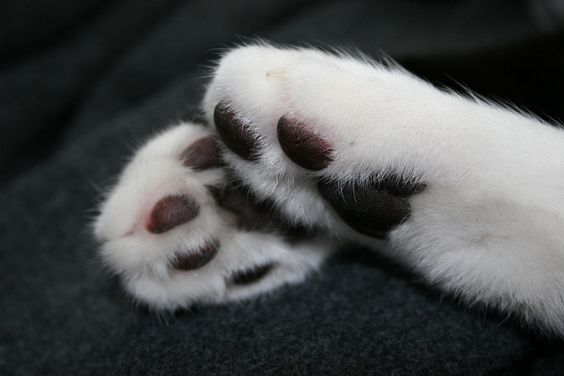 5 choses à savoir sur les pattes des chats !