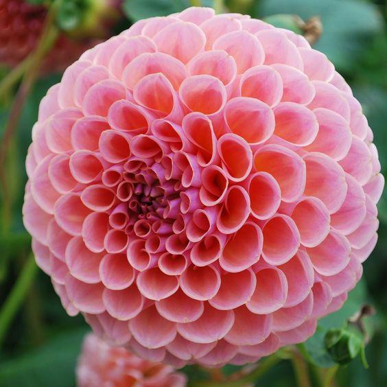 Dahlia 'Jowey Winnie' - Rose Cottage Plants: