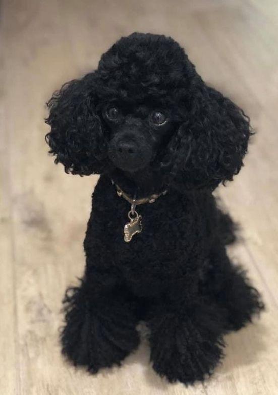 Black Teacup Poodle : black, teacup, poodle, Pudlové