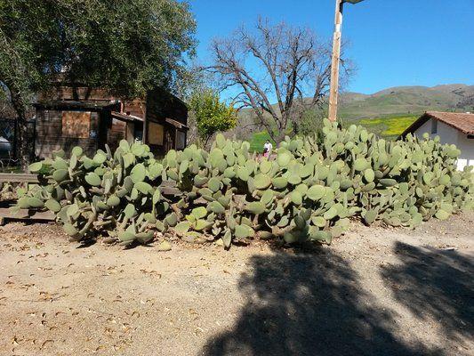 Giant cactus.   Yelp
