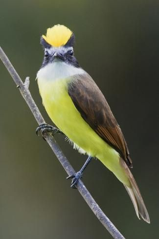 Photographic Print: Greater Kiskadee by Ken Archer : 24x16in