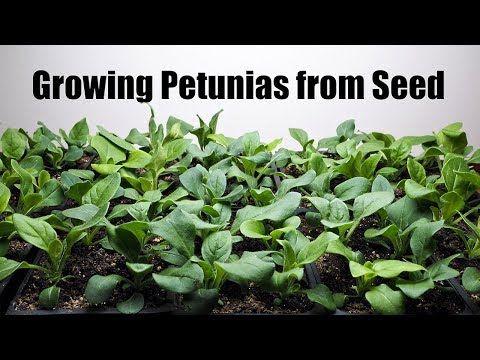 Growing Petunias From Seed Youtube Petunias Petunia Flower Seeds