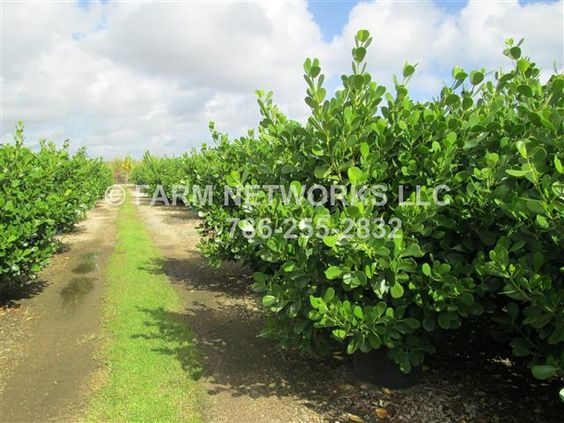 Clusia Hedge Plants for Sale