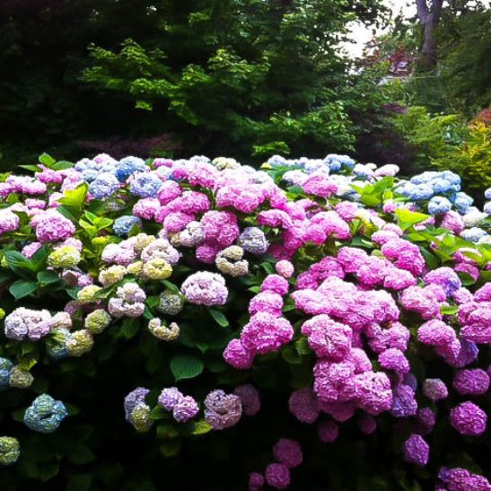 8 Most Popular Hydrangeas That Gardeners Love With Images