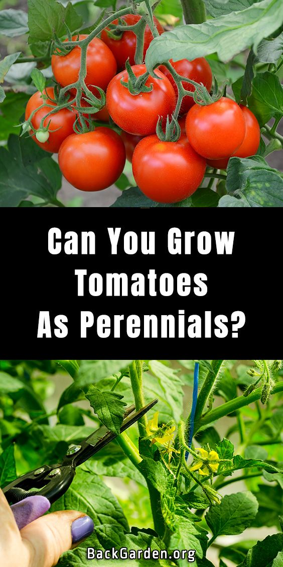 Can You Grow Tomatoes As Perennials In 2020 Growing Tomatoes Perennials Tomato