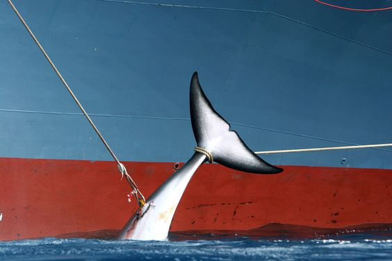 Will Japan Stop Slaughtering Whales