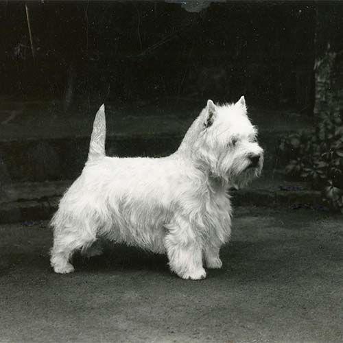 West Highland White Terrier Dog Breed Information Terrier Dog