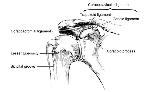 Conoid Coracoclavicular Ligament Google Search