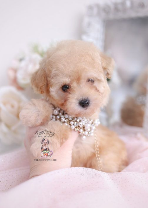 Apricot Toy Poodle Puppy For Sale Teacup Puppies 012 B In 2020 Toy Poodle Puppies Teacup Puppies For Sale Teacup Puppies
